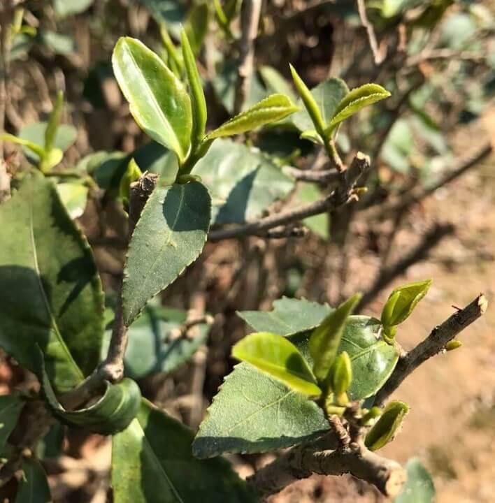 毛蟹 中国茶 茶樹 品種