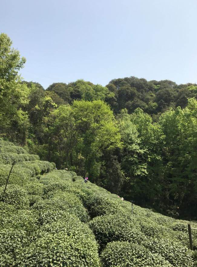 杭州 龍井 茶畑 有機