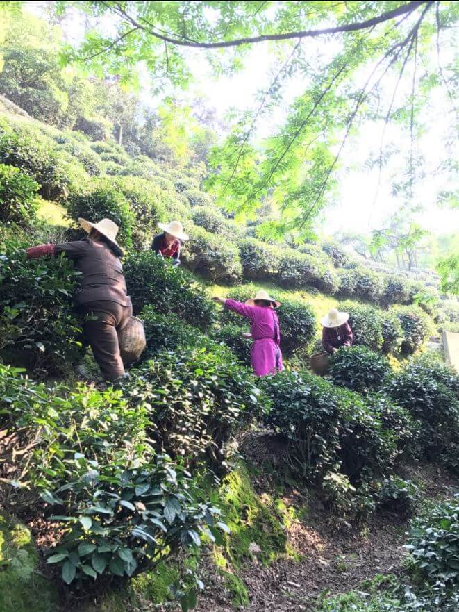 杭州 龍井 獅峰 茶畑