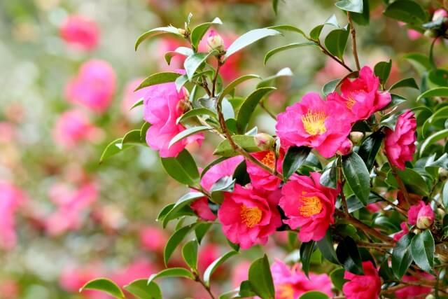 山茶花(さざんか) 初冬 立冬
