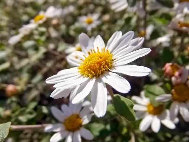 竜脳菊(リュウノウギク) 立冬 初冬