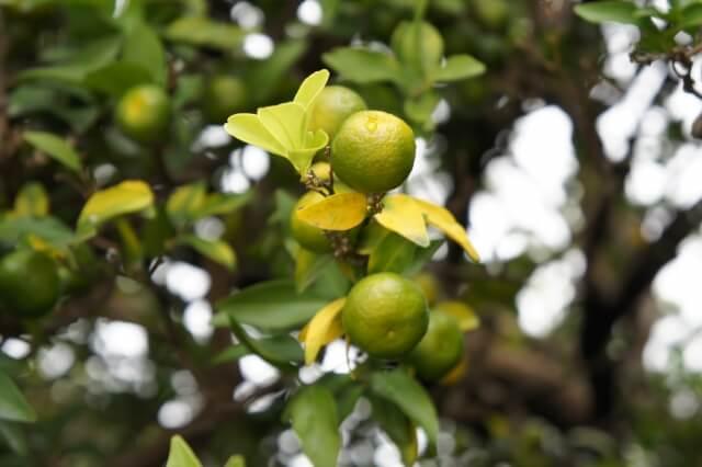 第六十候 橘始黄(たちばなはじめてきばむ) 小雪 初冬