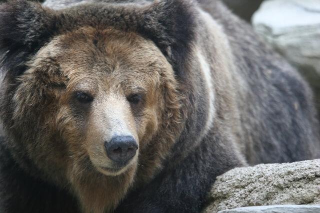 第六十二候 熊蟄穴(くまあなにこもる) 大雪 仲冬