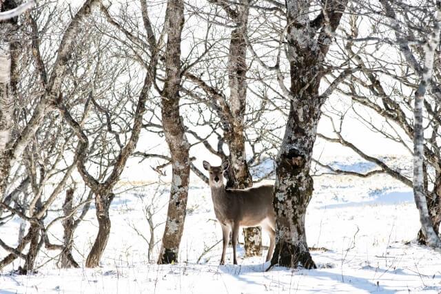 第六十五候 麋角解(さわしかのつのおつる) 仲冬 冬至 鹿