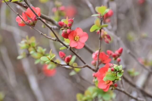 木瓜(ぼけ) 初春 雨水