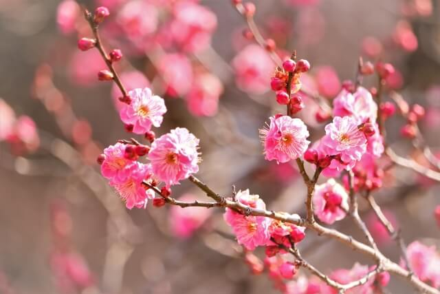 梅 うめ ウメ 立春 初春