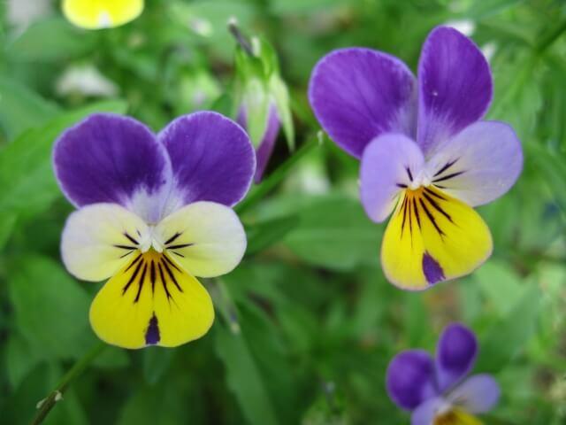 ビオラ 立春 初春