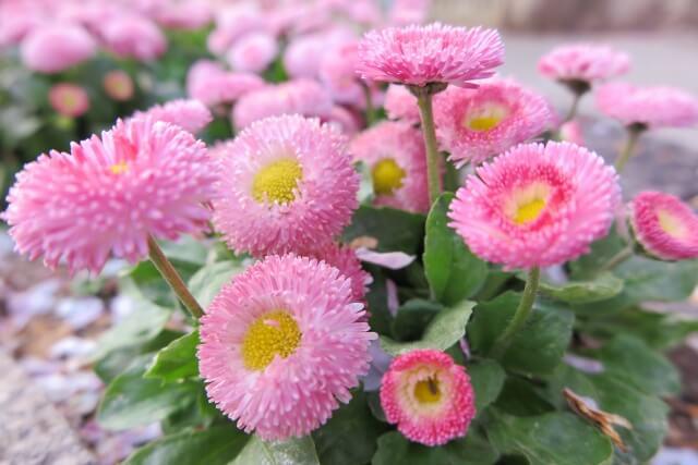 雛菊(ひなぎく) 雨水 初春