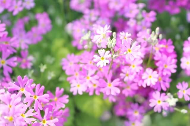 日本桜草(にほんさくらそう) 立春 初春
