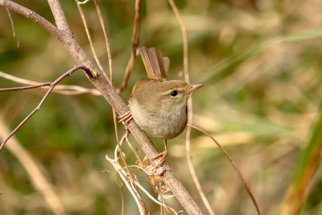第二候 黄鶯睍睆(うぐいすなく) 立春 初春