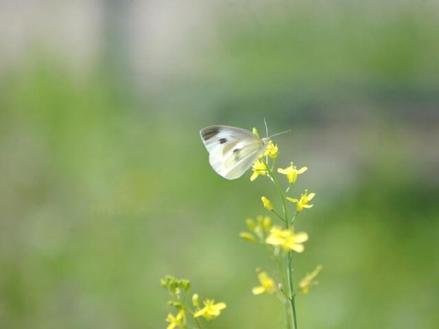 第九候 菜虫化蝶 (なむしちょうとなる) 啓蟄 仲春