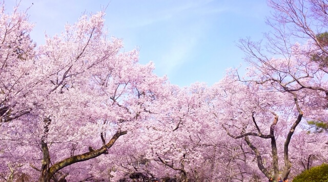 第十一候 桜始開(さくらはじめてひらく) 春分 仲春
