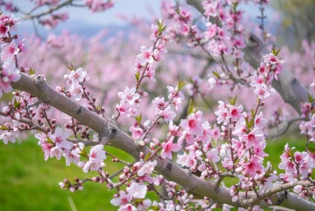 桃 もも モモ 桃の花 啓蟄 仲春