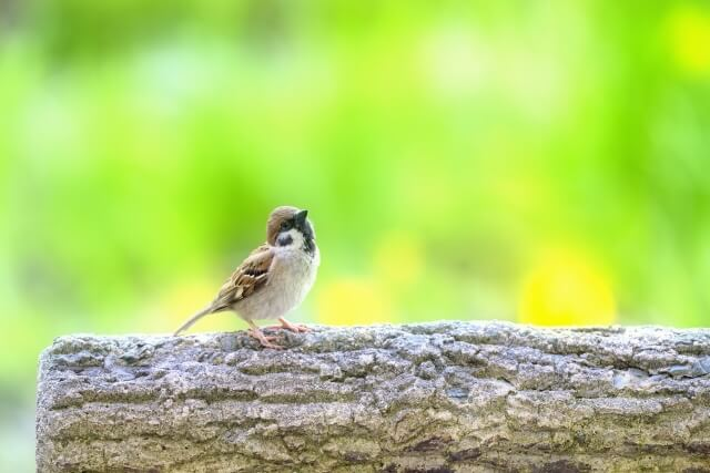 第十候 雀始巣(すずめはじめてすくう) 春分 仲春