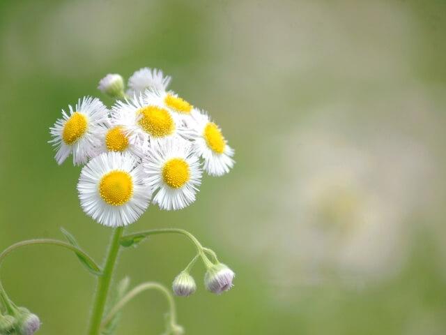 春紫苑 ハルジオン 晩春 穀雨
