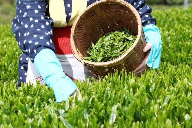 茶摘み 清明 晩春