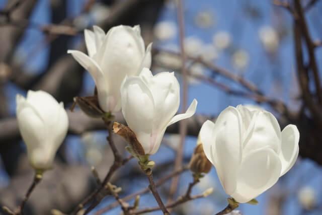 木蓮(もくれん) 清明 晩春