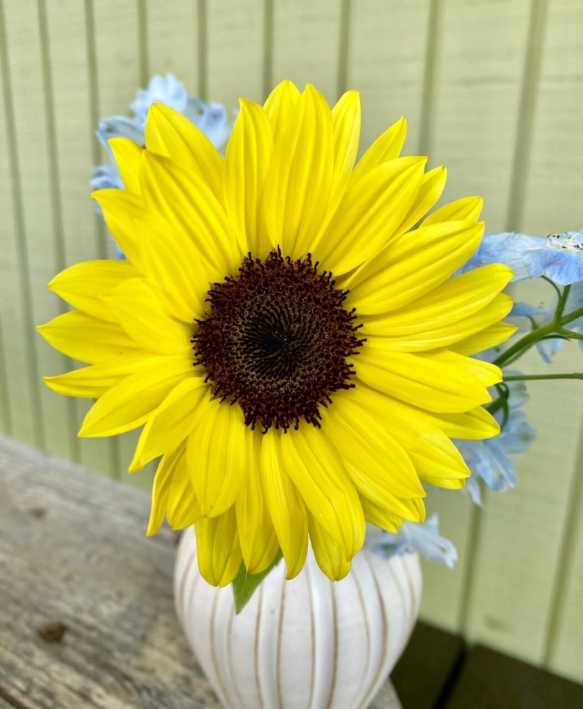 ヒマワリ Sunflower 向日葵